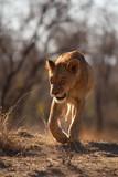Löwin auf der Pirsch