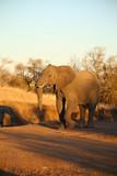 Elefant im Abendlicht - 247874729
