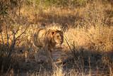 Fototapeta Sawanna - Junger männlicher Löwe © maramis