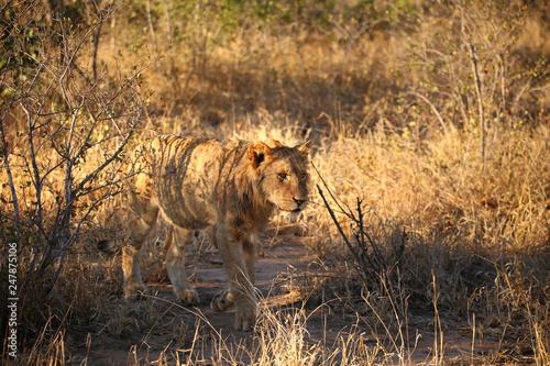 Junger männlicher Löwe © maramis