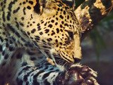 The leopard is using a lick tongue to clean the paws.