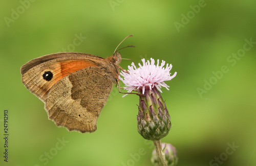 Plakat Ładny Meadow Brown Butterfly (Maniola jurtina) nectaring na kwiat ostu.