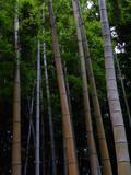 青い竹林。