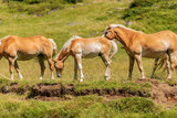 Brown and white foal and horses in Alpine pasture - 247935374