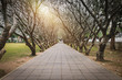Tunnel of dry Plumeria Tree or Frangipani tree with walking way