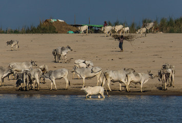 cattle  drinking along the Irrawaddy River near Mandalay