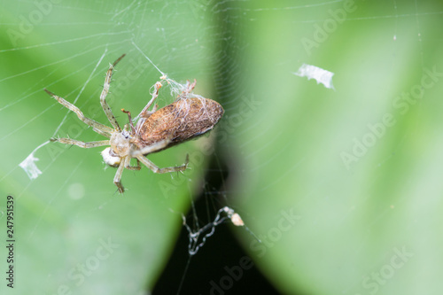 Macro spiders are laying eggs - 247951539
