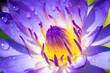 Yellow and Purple lotus pollen