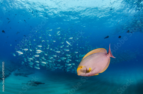 mata magnetyczna Surgeonfish. reefs of the Sea of Cortez, Pacific ocean. Cabo Pulmo, Baja California Sur, Mexico.