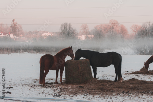 Two beautiful adult domestic horses standing and walking on the snowy field on a cold overcast day in the winter . Isolated on white, sunny field. Horses in Latvia