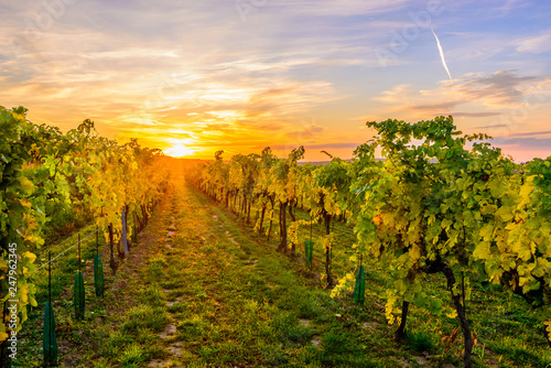 Wineyard in Lower Austria