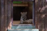 cachorro de leopardo en un zoo