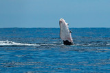 humpback whale slapping fin in cabo san lucas