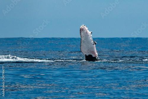 Leinwandbild Motiv - Andrea Izzotti : humpback whale slapping fin in cabo san lucas