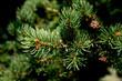 Leinwandbild Motiv Picea abies Pachyphylla - gemeine Fichte