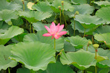 lotus in a park