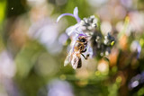 A bee sip from some lilac flowers in a park in Caceres. - 248002703
