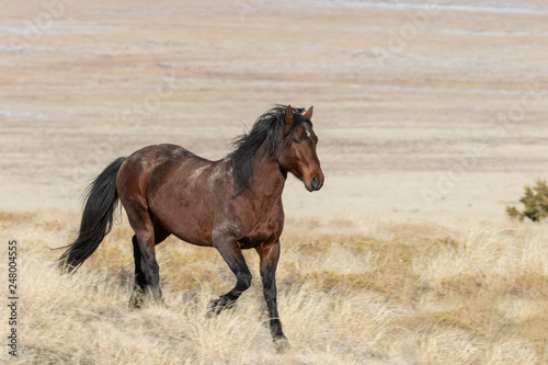 Majestic Wild Horse in the Utah Desert in Winter