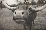 Cute longhorn cow puts big nose close to camera on Texas cattle farm.