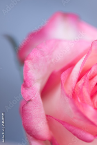 One pink rose on a blue background in the studio - 248021572