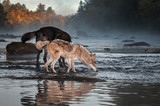 Grey Wolf (Canis lupus) Nose to Water With Black Wolf Autumn - 248025780