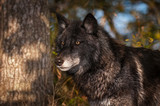 Black Phase Grey Wolf (Canis lupus) Stands Looking Left Autumn