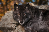 Black Phase Grey Wolf (Canis lupus) Looks Out Autumn
