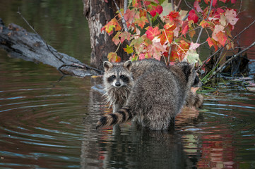 Raccoons (Procyon lotor) Looks Out Over Others Tail Autumn