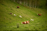 Young cow at the farm in Transylvania , Romania