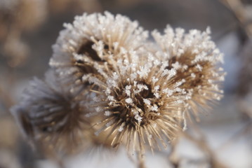frost on the seeds of thistle