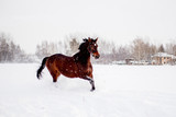 Beautiful brown horse running in the snow
