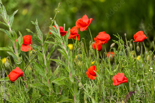 Poppies in a lush meadow - 248042581