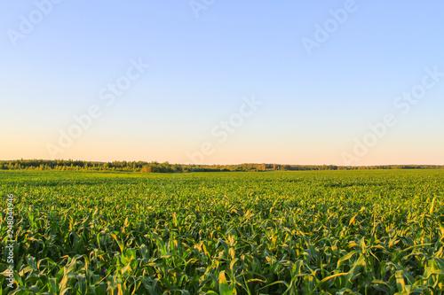 Foto Murales Green corn field