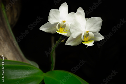 Close up of a white orchid flower growing on a branch with a black background. - 248045967