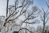 A beautiful branchy gray willow tree with snow and without foliage and a group of pigeons birds against the blue sky background in a park in winter