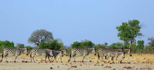 Herd of Plains Zebra walking across the dry arid savannah with a natural bush and hazy blue sky background. Hwange National Park, Zimbabwe © paula