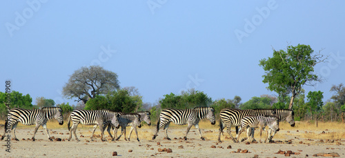 Herd of Plains Zebra walking across the dry arid savannah with a natural bush and hazy blue sky background. Hwange National Park, Zimbabwe - 248051908
