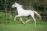 running white beautiful  Orlov trotter stallion in paddock.