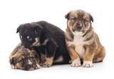 Three little puppies.