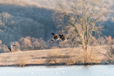 Canadian Geese Fly Over Middle Creek Wildlife Management Area in Pennsylvania - 248061302
