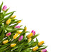 Frame. Flowers tulips. Multicolored tulips on a white background. Isolate on white background. Spring bouquet
