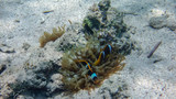 clown fish on the sandy bottom of the sea, among corals, sea anemone - 248100151