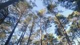 Wind is swinging pine trees - 248100369