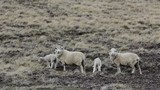 Sheep Family in Falkland Islands. - 248101504