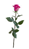 Delicate pink rose with green leaves - 248108552