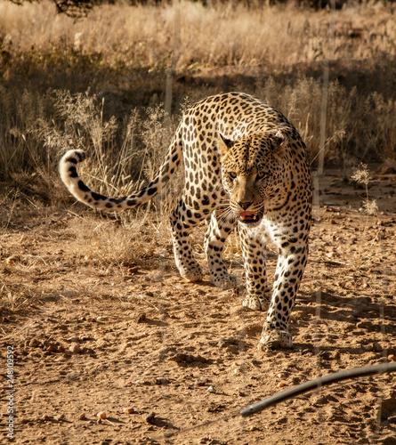 Leopard walks slowly across desert scrub