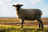 Sheep in the countryside. Sheep graze on a green meadow. Lovely lambs. - 248114181