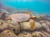 Green sea turtle and fish swimming over reef in Hawaii