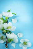Pastel  blue spring background with a branch of white flowers. Spring bloom frame