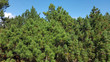 canvas print picture - Kiefernwald, Insel, Roemoe, Daenemark